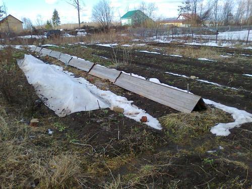 Укрытие виноградников на зиму