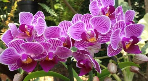 Орхидея Фаленопсис. Уход круглый год