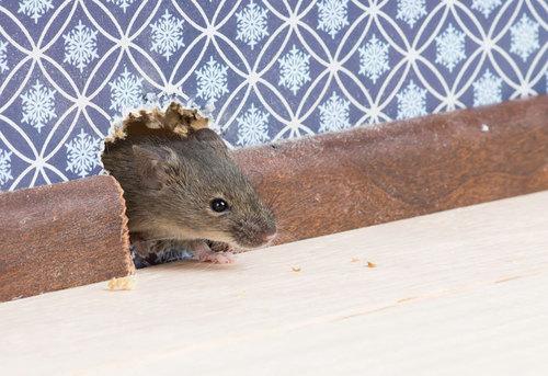 Крысы и мыши спешат в гости