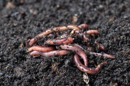 Дождевые черви: чем полезны, и как привлечь