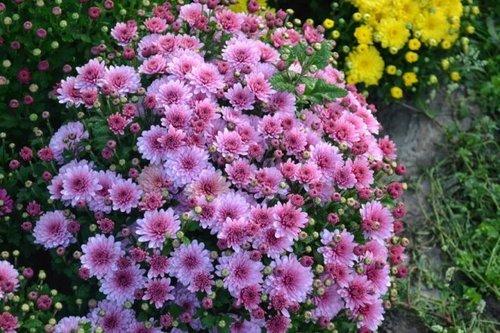 Многолетние хризантемы осенью: уход и подготовка к зиме