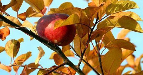 Почему яблоня осенью не сбросила листья