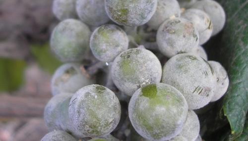 Ложная мучнистая роса на винограде