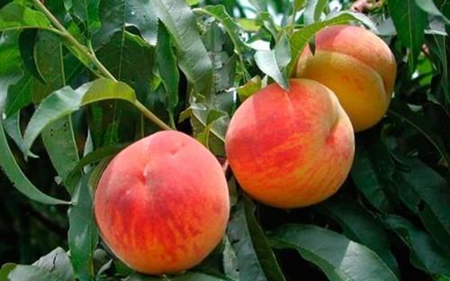 Персик - посадка и уход