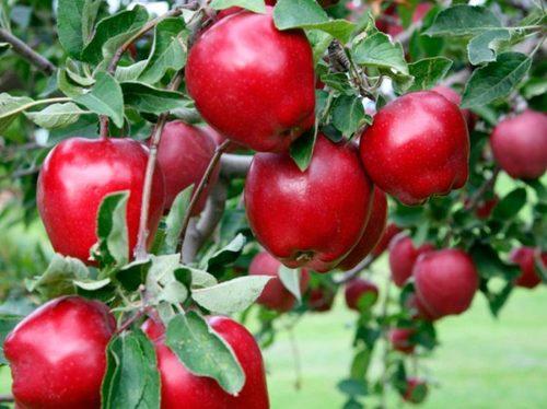 Яблоня - посадка и уход