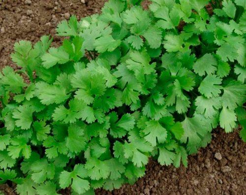 Кориандр (Кинза): выращивание, посадка и уход