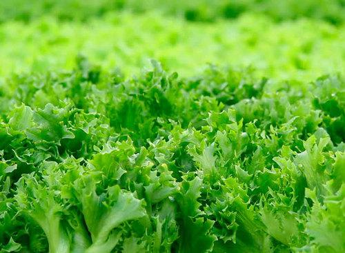 Салат: выращивание, посадка и уход