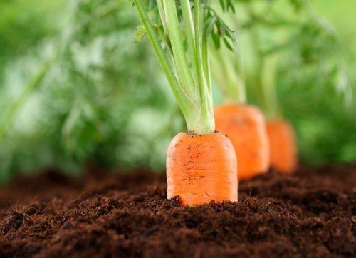 Морковь: выращивание, посадка и уход