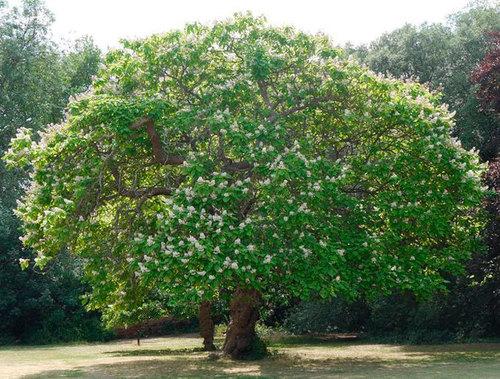 Катальпа: выращивание, посадка и уход