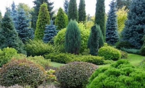 Ель: выращивание, посадка и уход