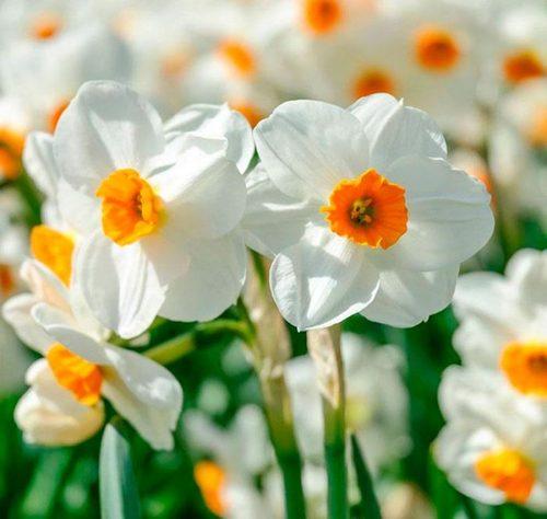 Нарциссы: выращивание, посадка и уход
