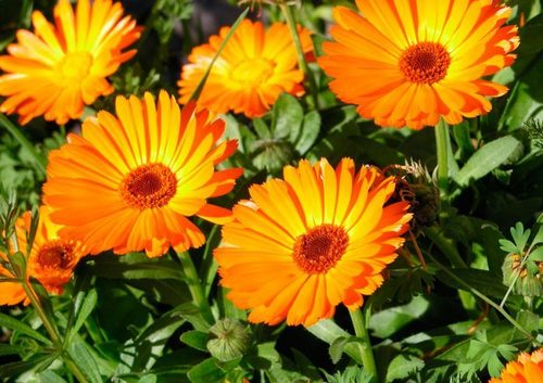 Календула: выращивание, посадка и уход