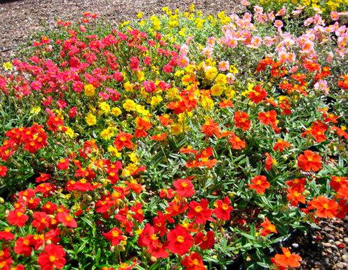 Солнцецвет: выращивание, посадка и уход