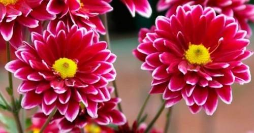 Схизантус: выращивание, посадка и уход