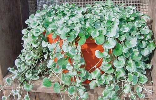 Дихондра: выращивание, посадка и уход
