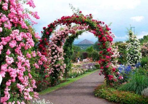 Садовые розы: выращивание, посадка и уход