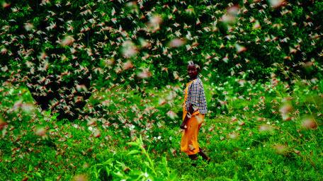 На фоне пандемии Африку атакуют полчища саранчи