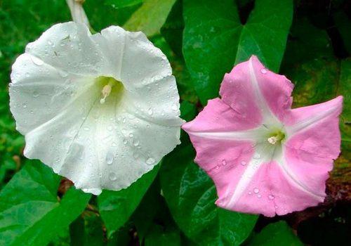 Калистегия (повой): выращивание, посадка и уход