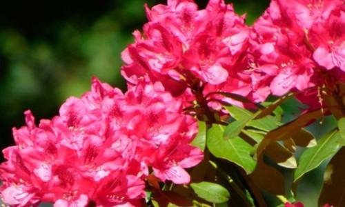 Рододендрон: выращивание, посадка и уход