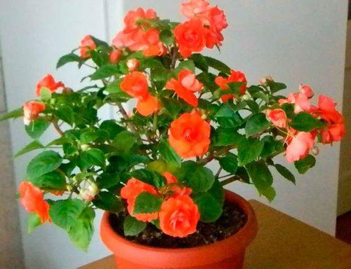 Бальзамин комнатный: выращивание, посадка и уход