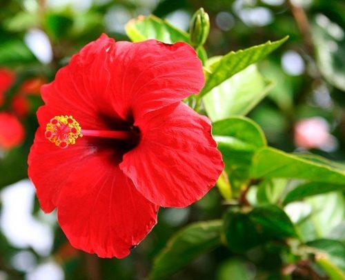 Китайская роза (Гибискус): выращивание, посадка и уход