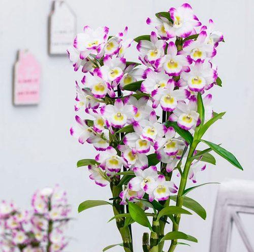 Орхидея дендробиум: выращивание, посадка и уход