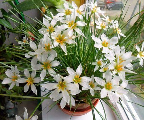 Зефирантес: выращивание, посадка и уход