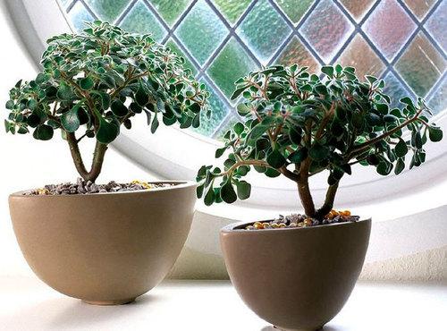 Аихризон (Дерево любви): выращивание, посадка и уход