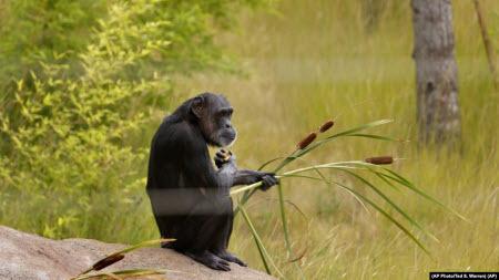 Дослідники: зміна поведінки самців шимпанзе з віком подібна до людської