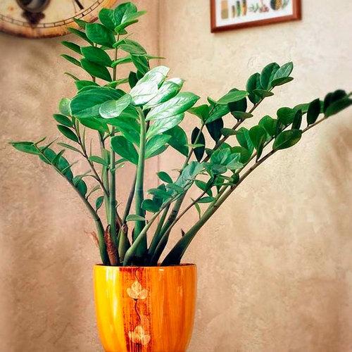 Замиокулькас (Долларовое дерево): выращивание, посадка и уход