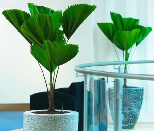 Пальмы: Пальма ликуала