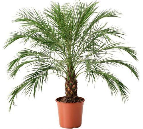 Пальмы: Финик Робелена