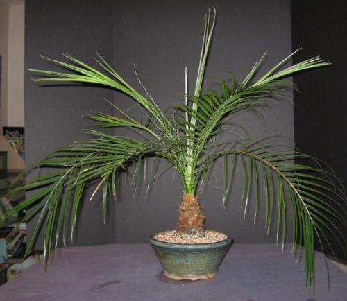 Пальмы: Пальма Феникс