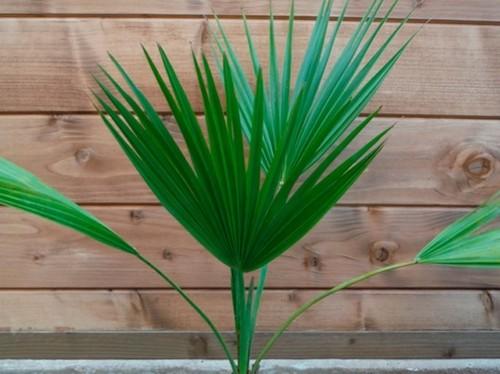 Пальмы: Брахея