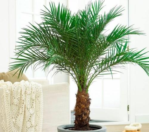Пальмы: Комнатная пальма — виды и уход