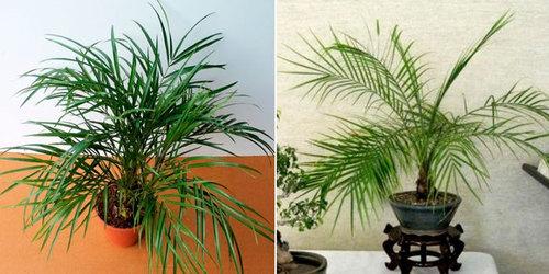 Пальмы: Финик из косточки