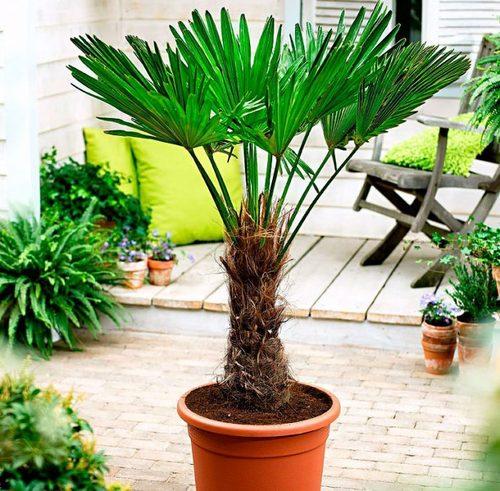 Пальмы: Трахикарпус