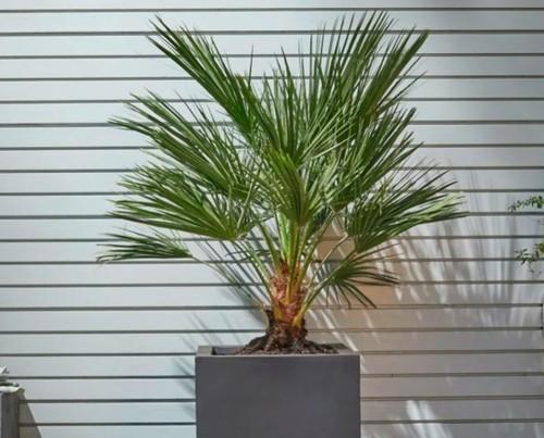 Пальмы: Хамеропс (Веерная пальма)
