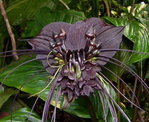 Орхидея: Такка