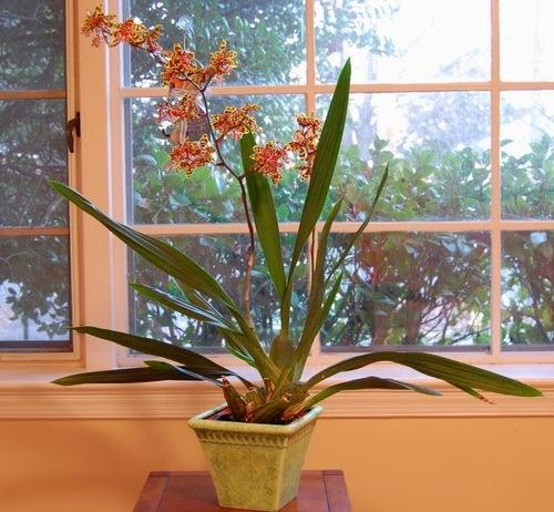 Орхидея: Онцидиум