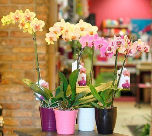 Орхидея: Фаленопсис