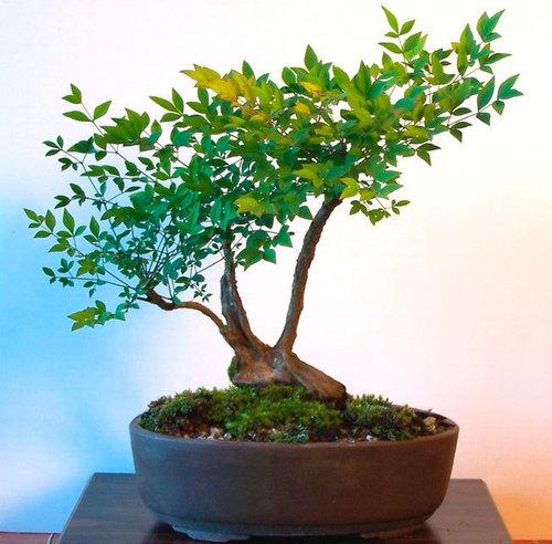 Деревья и Кустарники: Нандина