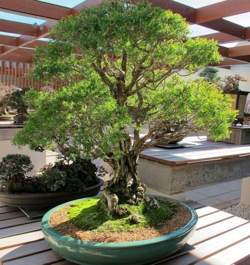 Деревья и Кустарники: Чайное дерево Мелалеука