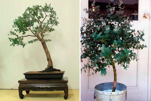 Деревья и Кустарники: Комнатный эвкалипт