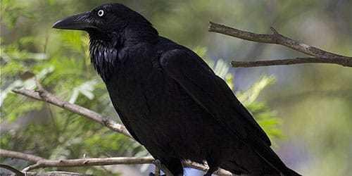 """Притча """"Черная ворона"""""""