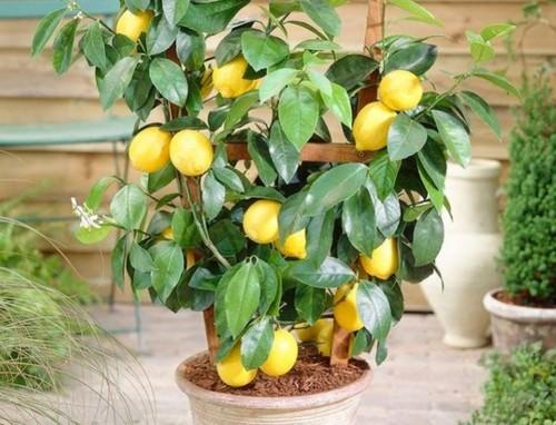 Деревья и Кустарники: Комнатный лимон