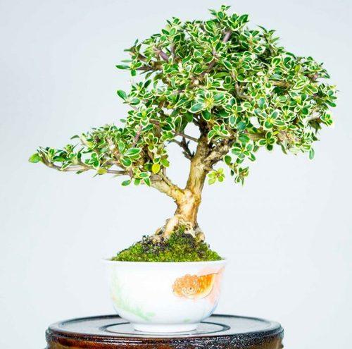 Деревья и Кустарники: Серисса