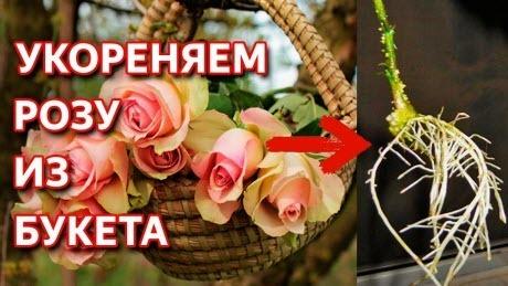 Как укоренить любую розу. Укоренение розы из букета. Укоренение черенков розы Способ укоренения розы
