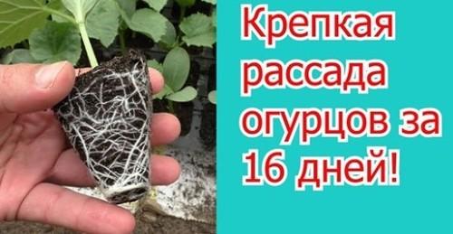 Вы удивитесь как просто вырастить много рассады огурцов за 16 дней