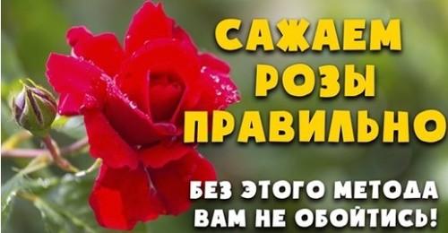 Когда и как правильно сажать розу весной